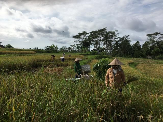 Rice Field_bali